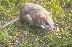 Arizona Pack Rat Control Tips