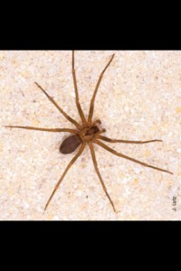 Order Araneae Family Sicaridae That looks a lot like the genus Loxosceles, one of many species of recluse spider