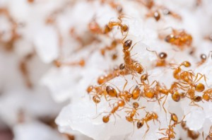 Tucson Fire Ant Control