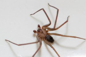 30142236 - brown recluse spider sitting on a white background