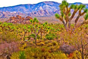15298590 - joshua tree naional park - california