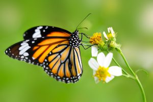 40725911 - closeup butterfly on flower (common tiger butterfly)
