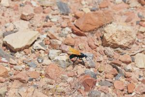 Tarantula Hawk Moving Along Rocky Gravel on Sunny Day