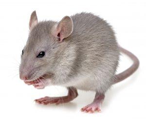 19160255 - a little rat eating something