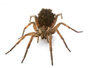 Tucson Wolf Spider Control Experts | Arizona Pest Control