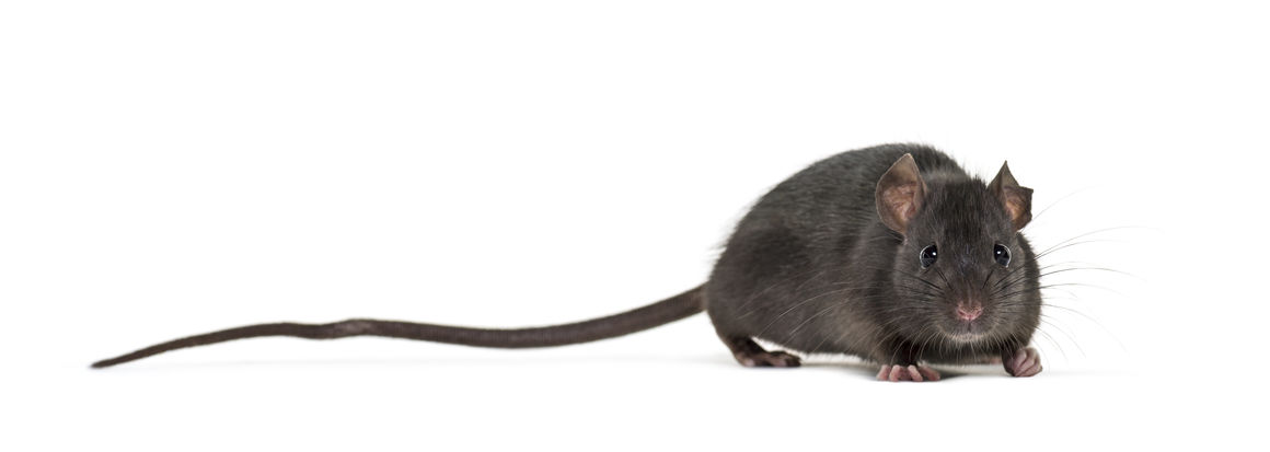 Arizona Rat Control