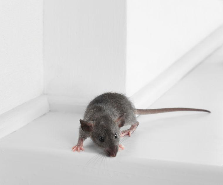 Tucson Rat Control